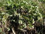 Coclearia (Cochlearia officinalis ssp. officinalis) foto
