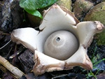 Geastrum michelianum foto