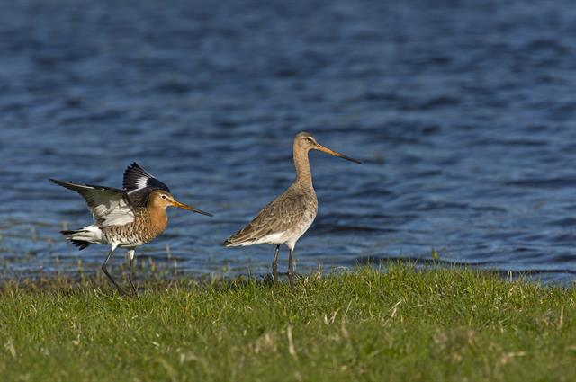 Aguja Colinegra (Limosa limosa) foto