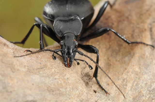 Cychrus caraboides foto