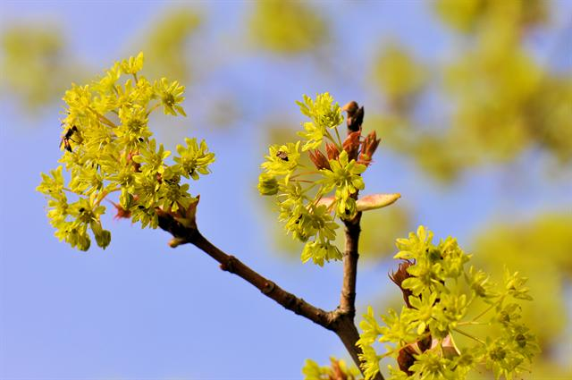 Arce real (Acer platanoides)