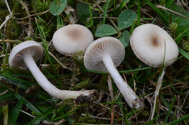 Clitocybe fragrans
