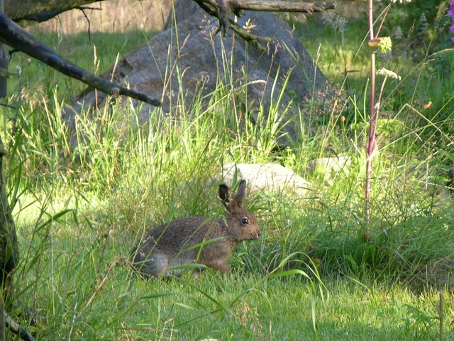 Liebre variable (Lepus timidus)