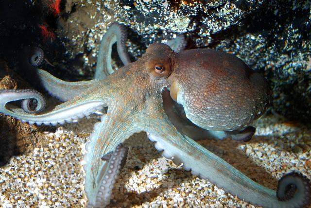 jcs-octopus-vulgaris-35050.jpg