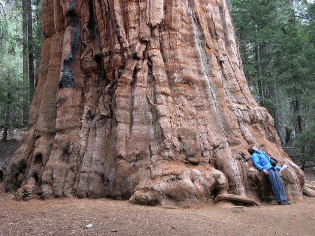 Sequoia gigante, Secuoya gigante (Sequoiadendron giganteum)