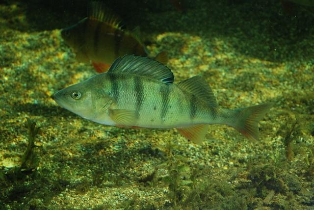 perca fluviatilis Perca-fluviatilis-00023