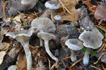 Clitocybe ditopus