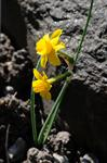 Narcissus calcicola