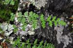 Woodsia alpina